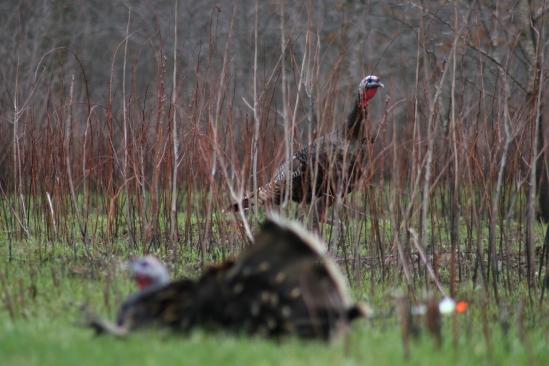 turkeystalk