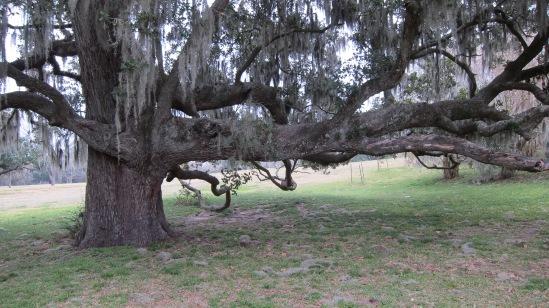 big-oak